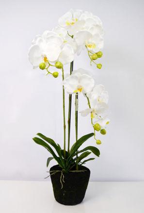 Slika Orhideja s korijenom 80 cm
