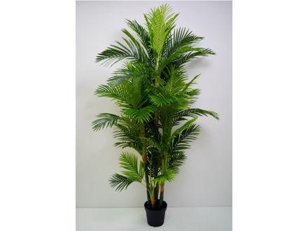 Palma u posudi 200 cm